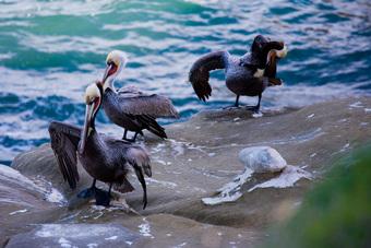 Brown Pelican at La Jolla Coves
