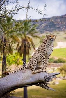 Cheetah, San Diego Wild Animal Park
